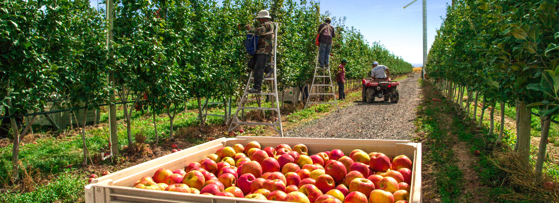 apples being picked in orchard